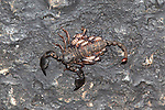 Opisthacanthis validus scorpion female carrying young, Mkhuze game reserve, Kwazulu Natal, South Africa