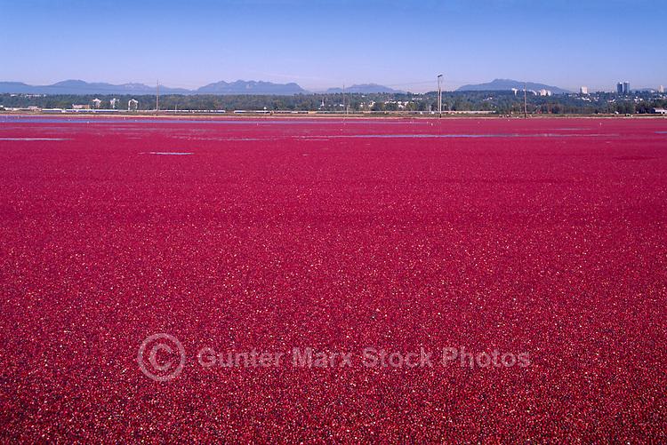 Richmond, BC, British Columbia, Canada - Harvesting Cranberries (Vaccinium macrocarpon) in Flooded Bog Field on Cranberry Farm