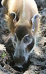 Foto: VidiPhoto<br /> <br /> RHENEN - Zogenoemde penseelzwijntjes verkennen donderdag hun nieuwe verblijf in Ouwehands Dierenpark in Rhenen. De dieren zijn nieuw en mochten donderdag voor het eerst naar buiten. Bedoeling is om ze samen te laten leven met de olifanten, zoals dat in het wild ook gebeurt. De olifanten hebben vooralsnog alleen oogcontact met hun drie nieuwe buren Pemba, Pumba en Lizzie: twee mannetjes en een vrouwtje. Pas over vier weken worden de zwijnen losgelaten in het olifantenverblijf. Het samenvoegen van dieren is op dit moment een trend in de Nederlandse dierentuinen. Penseelzwijntjes en olifanten samen vormen echter nog een unieke combinatie. Penseelzwijntjes hebben pluimen aan hun oren en staart en lange baardharen op hun wangen en zijn dol op pinda's.