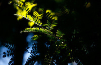 Everglades, Fla. -- Feb. 17, 2007 -- Sunlight hits the leaves of a tree on Sandfly Island in the Ten Thousand Islands region of Everglades National Park on the southern tip of Florida on Saturday, Feb. 17, 2007. (Chip Litherland for The New York Times)