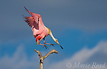 Roseate Spoonbill (Ajaia ajaja), adult in breeding plumage flying in to land on a perch, Orlando, Florida, USA