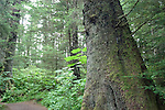 Alaska, Sitka.  Rain forest forest, example of Tongass National Forest, at the Sitka National Historic site..Photo copyright Lee Foster, 510/549-2202, lee@fostertravel.com, www.fostertravel.com..