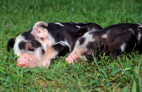 Two spotted potbelly piglets sleeping together in the grass, Missouri, USA
