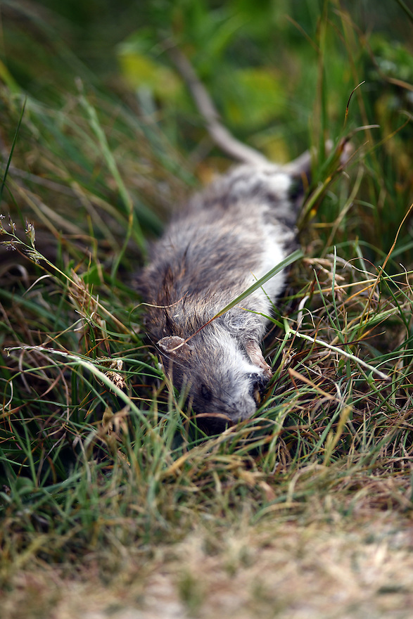 THE ISLES OF SCILLY SEABIRD RECOVERY PROJECT. A DEAD RAT ON THE ISLAND OF BRYHER. 17/06/2015. PHOTOGRAPHER CLARE KENDALL.
