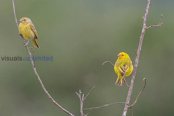 Saffron Finches (Sicalis flaveola), Southeast Brazil.