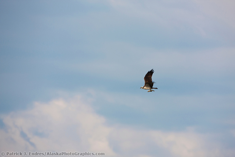 Osprey carries a fish in its talons pointed forward to aid in flight dynamics, Katmai National Park, southwest, Alaska.
