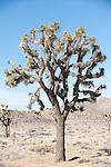 Joshua Tree National Park, California; Joshua Trees (Yucca brevifolia), mature, within the park