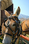 IDAHO.    Ketchum Sun Valley. Big Hitch. Wagon Train. Mule. Baldy