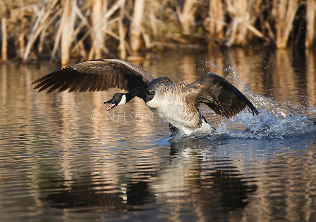 Canada Goose landing on a stream in a cattail marsh