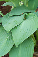 Hosta Snowden, an excellent foliage plant for dry shade garden