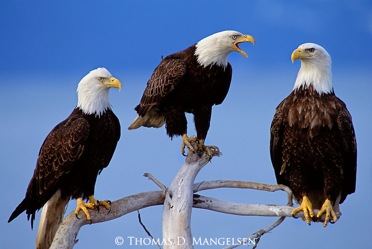 Three adult bald eagles perch on a piece of driftwood in Southeast Alaska.