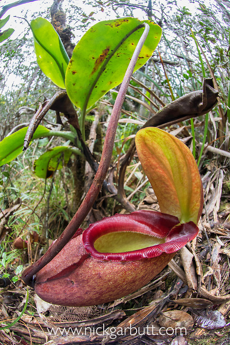 Ground pitcher of endemic 'King' Pitcher Plant (Nepenthes rajah). Growing in montane forest (at 3200m asl), Mt Kinabalu, Sabah, Borneo.