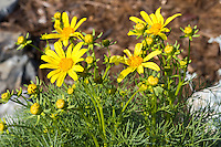 Four [Coreopsis gigantea] flowers and more than a dozen flower buds rise above the foliage of the plant.  The yellow flowers and dusty green foliage contrast with the gray rocks and brown mulch in the background.