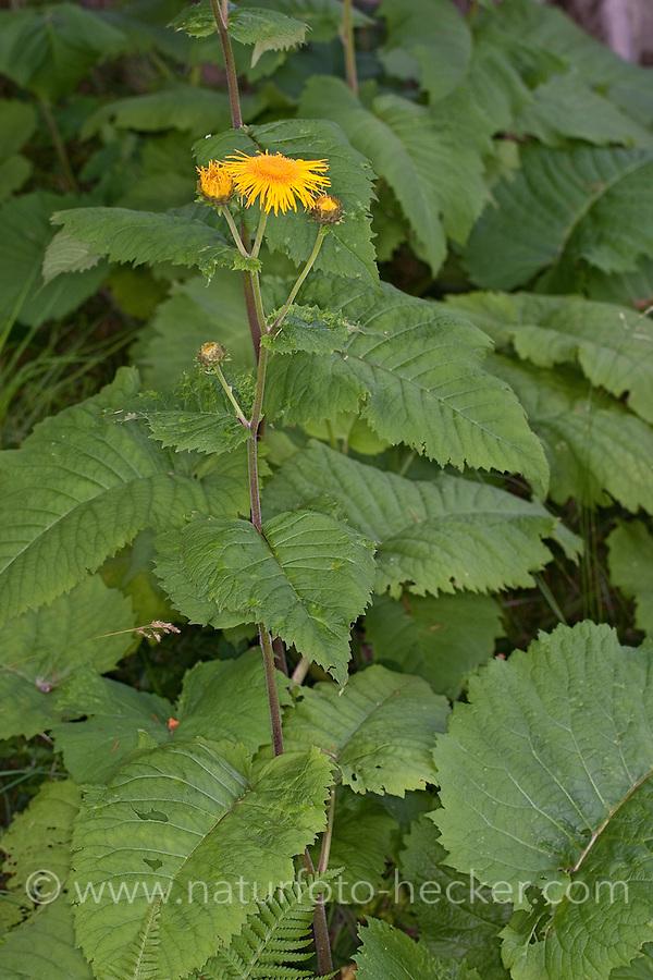 Große Telekie, Telekia speciosa, Buphthalmum speciosum, Large Yellow Oxeye