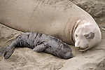 San Simeon, California; a female Northern Elephant Seal (Mirounga angustirostris) rest on the sand and bonds with her pup through touch, smell, vocalization and feeding