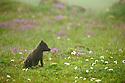 Blue phase Arctic Fox.