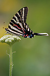 Woodland park zoo butterfly exhibit Zebra swallowtail butterfly (eurytides marcellus) landing on flower Seattle Washington State USA