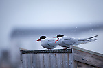 Arctic Terns, sterna paradisea, Ny Alesund