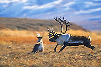 Bull caribou chases younger male across the autumn tundra during the rut season, Denali National Park, Alaska