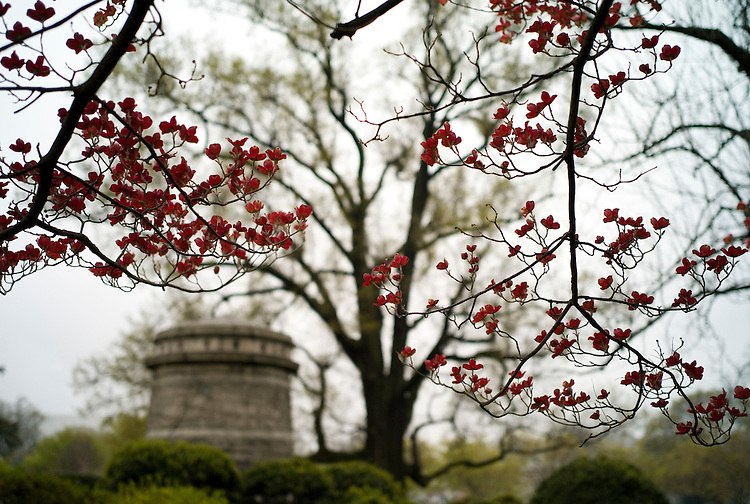 WASHINGTON, DC - April 14: Flowering dogwood blooms on a wet day at the U.S. Capitol grounds. (Photo by Scott J. Ferrell/Congressional Quarterly)