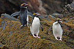 Three macaroni penguins stand on a rock in Cooper Bay on South Georgia Island.