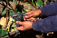 A farm worker picks PINOT NOIR GRAPES  in a CALIFORNIA VINEYARD