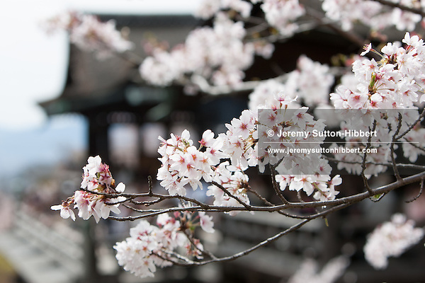 Cherry blossom time, in Kiyomizudera Temple, in Kyoto, Japan on Sunday 16th April 2012.