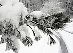 Pine tree limb covered in snow Northern Virginia blizzard of 2010 February 9-10 and 25-27 in Mid-Atlantic States rivaling the Knickebocker storm of 1922 Snowmageddon Snowpocalypse,