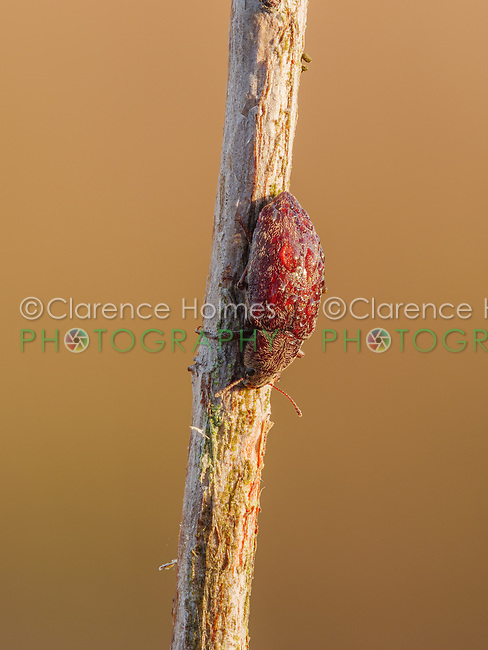 A dew covered Darkling Beetle (Epitragodes tomentosus) perches on its overnight roost on a plant stem early in the morning.