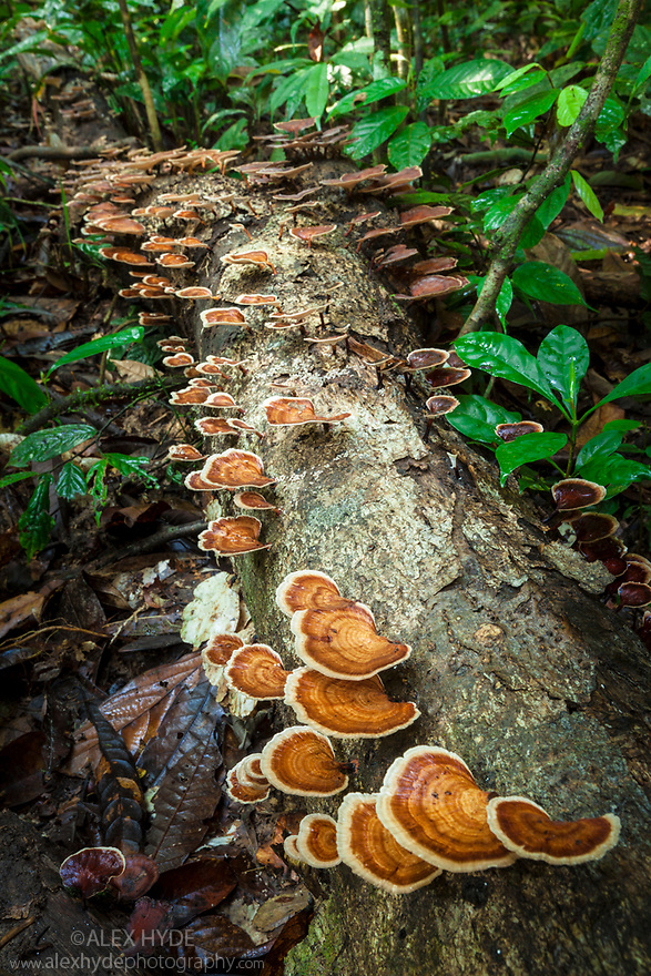 Bracket fungus growing on a fallen tree in tropical rainforest in the centre of Maliau Basin, Sabah's 'Lost World', Borneo, Malaysia.