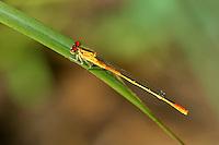 337850026 a wild female painted damsel hesperagrion heterodoxum perches on a grass stem near empire creek las cienegas natural area santa cruz county arizona united states