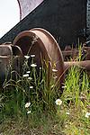 White daisies growing around old rusty train wheel