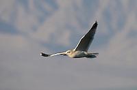 540060002 Mew Gull Larus canus WILD _DLW2547 .In Flight.Salton Sea National Wildlife Refuge, California