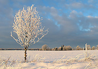Snowy Rowan Tree in Winter Landscape, Estonia