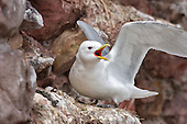 Black-legged kittiwake (Rissa tridactyla) Defending it's nest, from passing rivals and opportunistic predators. In this case just warding of passing rivals. Preadators will follow the laying of eggs. Much noise is made along with dramatic gestures to convey the message.