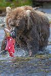Brown bear with a freshly caught sockeye salmon, Katmai National Park, Alaska