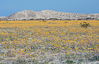 Field of desert sunflowers (Gernaea canescens) blooming in an off-road vehicle track near Anza Borrego Desert State Park, California.