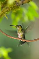 Hummingbird perches on a branch, Costa Rica, Central America