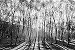 Silver Birch Forest at Bolehill quarry, early morning sunlight haze