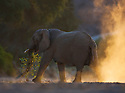 Namibia;  Namib Desert, Skeleton Coast,  desert elephant (Loxodonta africana) walking across dry river bed at sunset
