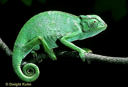 CH23-002z  African Chameleon - puffed up male,  warning off intruder, curled tail - Chameleo senegalensis