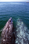 Gray Whales