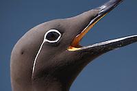 Guillemot ringed variant ( Uria lomvia )  Ireland Saltee Islands