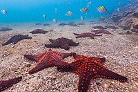 Colorful sea stars on the ocean floor, Bartolome Island, Galapagos Islands, Ecuador