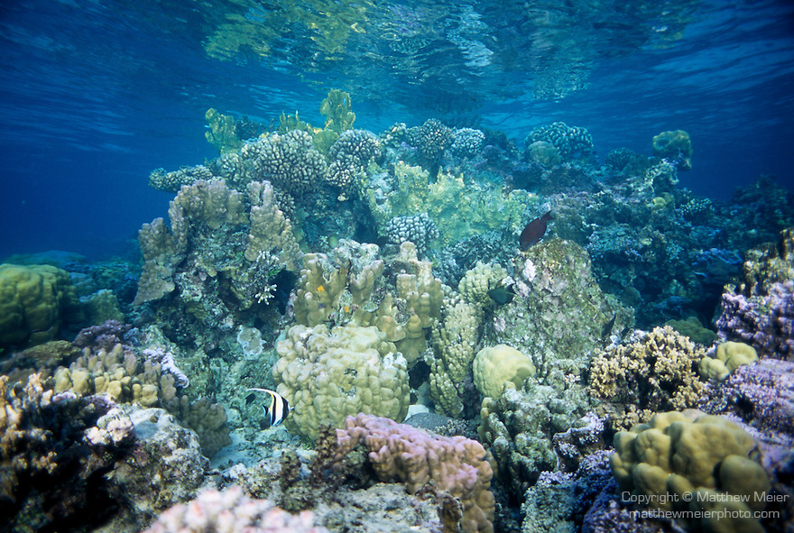 Moorea, French Polynesia; coral landscape, shallow reef offshore from the Sheraton Hotel. (branching) Pocillopora spp. and Massive Porites spp. coral. , Copyright © Matthew Meier, matthewmeierphoto.com All Rights Reserved