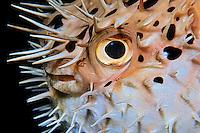Pufferfish / Blowfish / Globefish