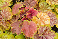 Heuchera Tiramasu foliage perennial plant with leaves in amber shades of gold, yellow, orange, bronze, red