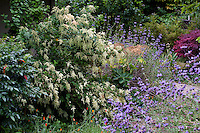 Holodiscus discolor, Ocean Spray or Cream Bush flowering shrub in California Native Plant Garden with Mahonia and Salvia, Schino