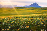 Sun's rays over a yellow field of Balsamroot flowers on the east front of the rockies in montana