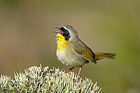 Male Common Yellowthroat Warbler (Geothlypis trichas), Maine, USA.